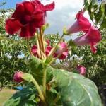 Červené květy