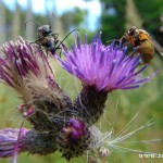 Brouci a hmyz na bodláku