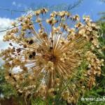 Květ ozdobné cibule