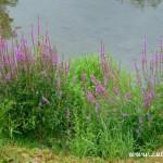 Květy u Bečvy