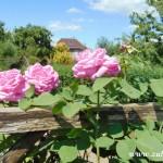 Růžové růže