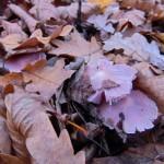 Listopadové houby