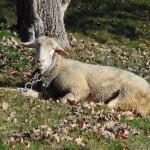 Ovce s řetězem