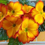 Žlutočervené květy